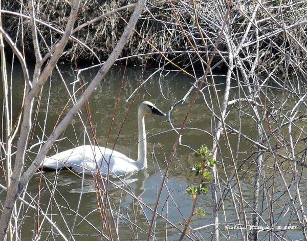 Trumpeter swan at Malheur NWR