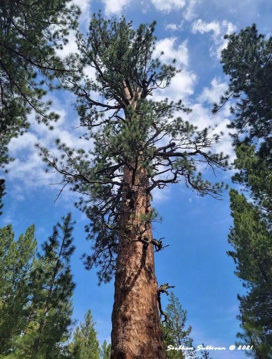 Big Tree in Oregon