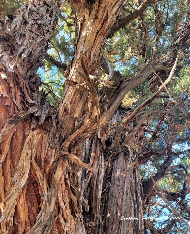 Robin nest in juniper tree