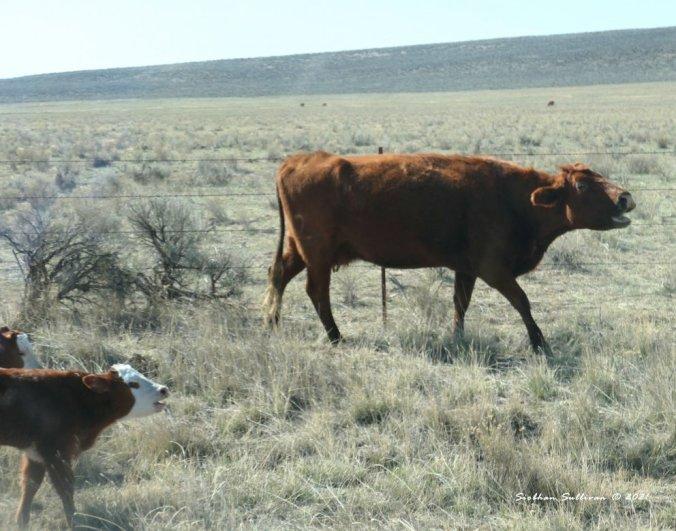 Cattle in Harney County