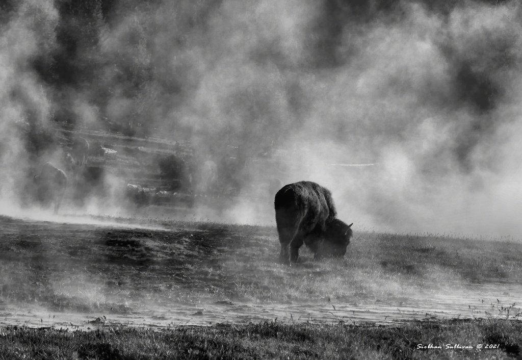 Creatures of the mist bison
