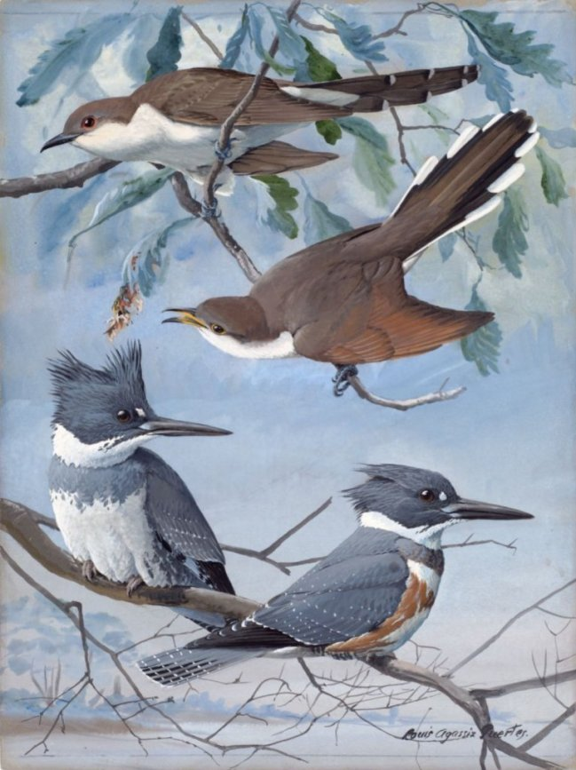 Paintings of Kingfishers & Cuckoos