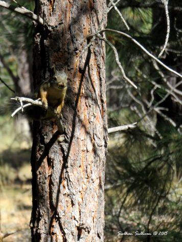 Douglas' squirrel, Tamiasciurus douglasii