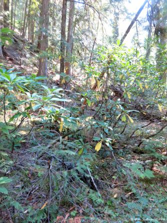 Rhododendrons along the McKenzie River Trail 15Sept2016
