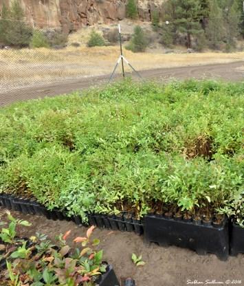 Whychus Creek plants for restoration 6October