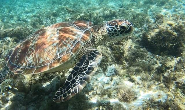 Turtlemania auf Apo Island. Meeresschildkröte Nahaufnahme