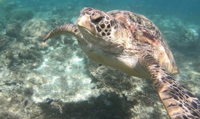 Meeresschildkröte von vorne bei Apo Island