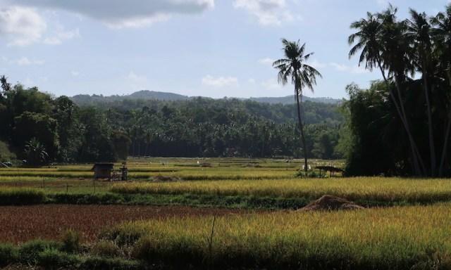 Wunderschönes Reisfeld auf Siquijor