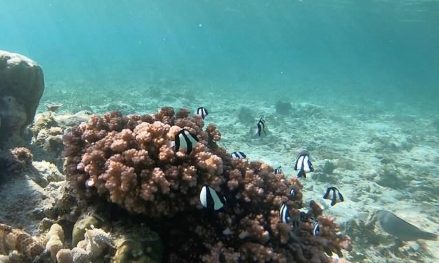 Gestreifte Fishis am Tubod Marine Sanctuary