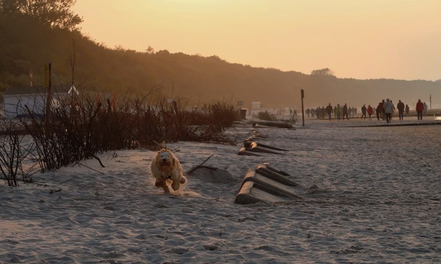 Cockerpoo rennend am Strand von Kolberg in der Abendsonne