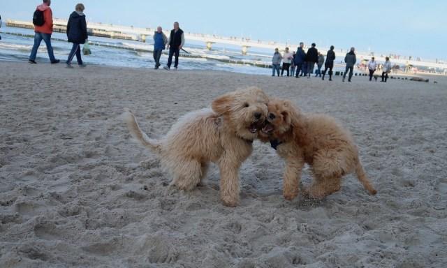 Zwei Cockapoo-Welpen spielen am Strand von Kolberg miteinander