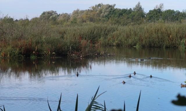 Enten im Eko Park Wschodni