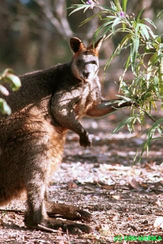 Swamp Wallaby (Wallabia bicolor), photo by Ern Mainka