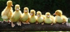 ducks-in-a-row 2a