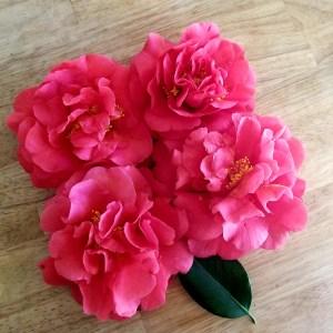 Camellia Flower - 4 red camellia flowers