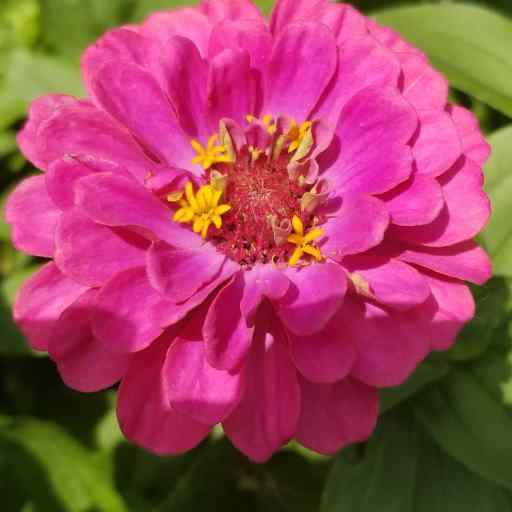 Petals of Purpose - A magenta zinnia flower