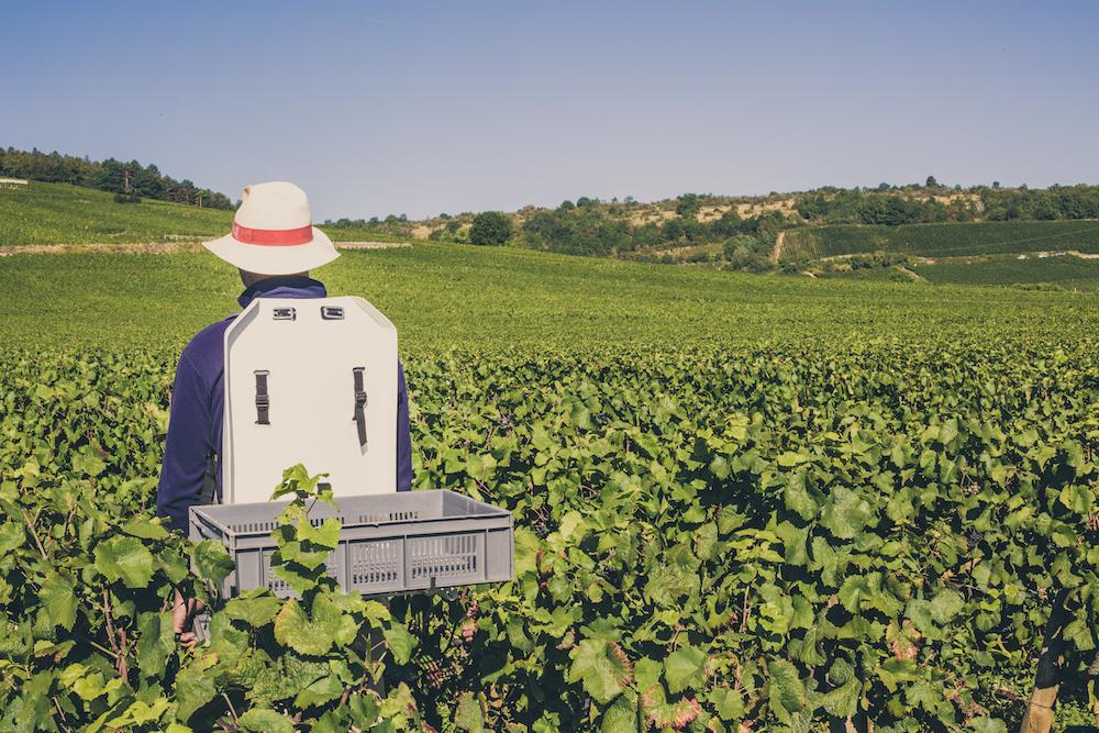 porteur vendanges 2015 Domaine De La Romanée Conti Vosne-Romanée - Photo de Bénédicte manière - Photographie de vin et domaines