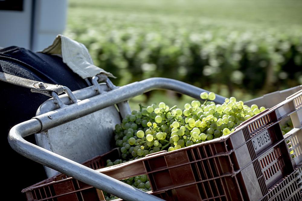 Vendanges 2015 porteur Puligny Montrachet Domaine de la Vougeraie - Photo de Bénédicte Manière - Photographie de vin et domaines