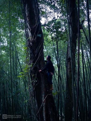 18 Tsou Villagers Climb High to Pick Aiyu Figs (by Benedict Young)