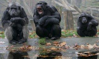 Chimpanzees-alpha