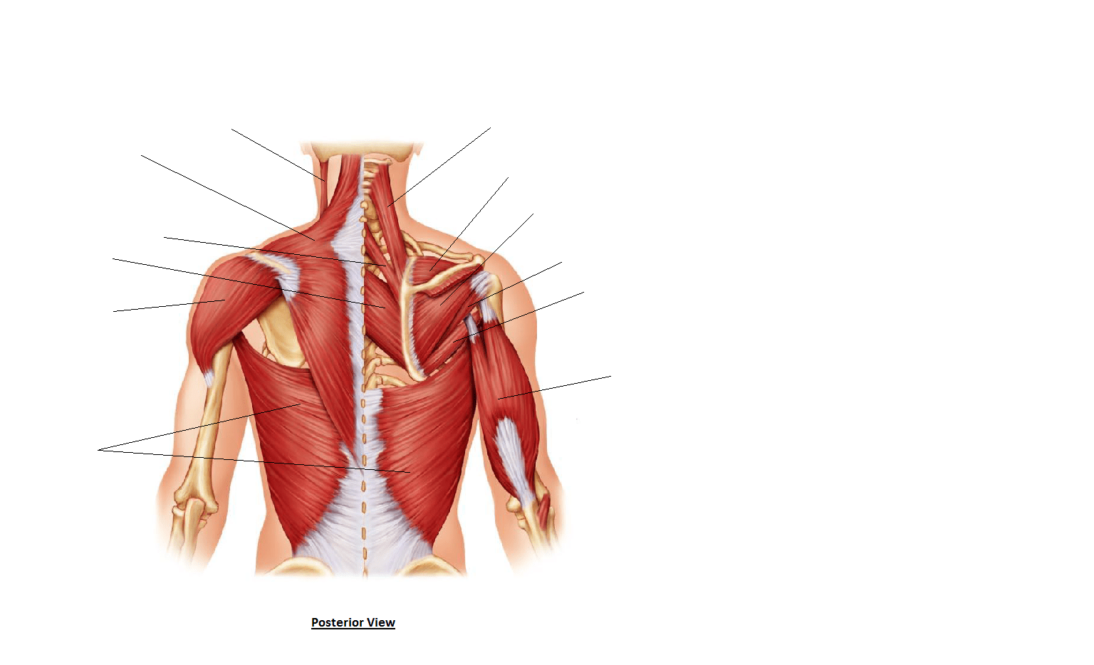 human muscles diagram labeled front and back orbital for boron of search results calendar 2015