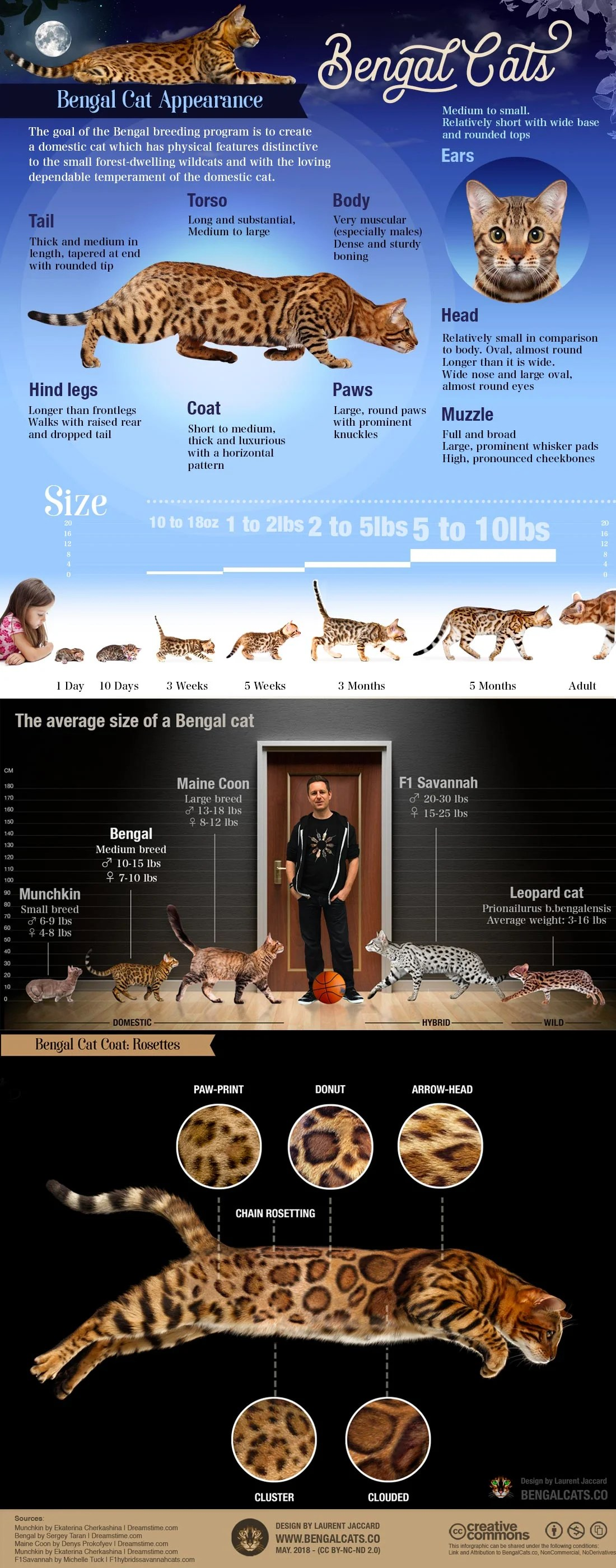 Bengal Cat Size Chart : bengal, chart, Bengal, Breed, Informations, Bengalcats.co