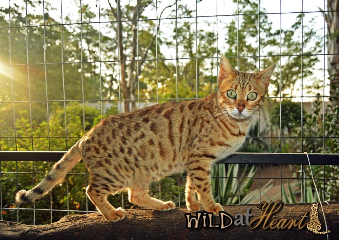 wild at heart bengals