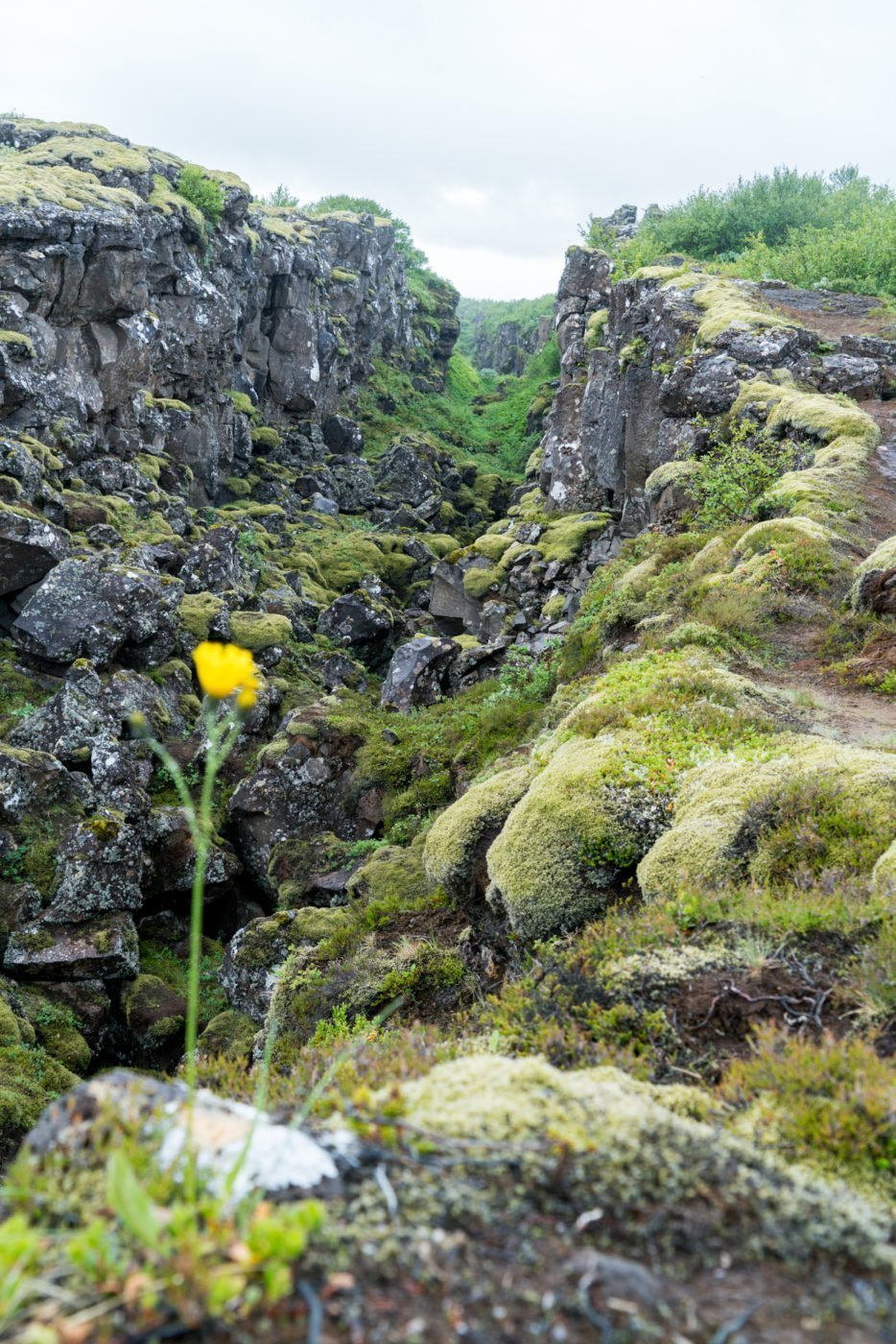 Lone flower at Thingvellir