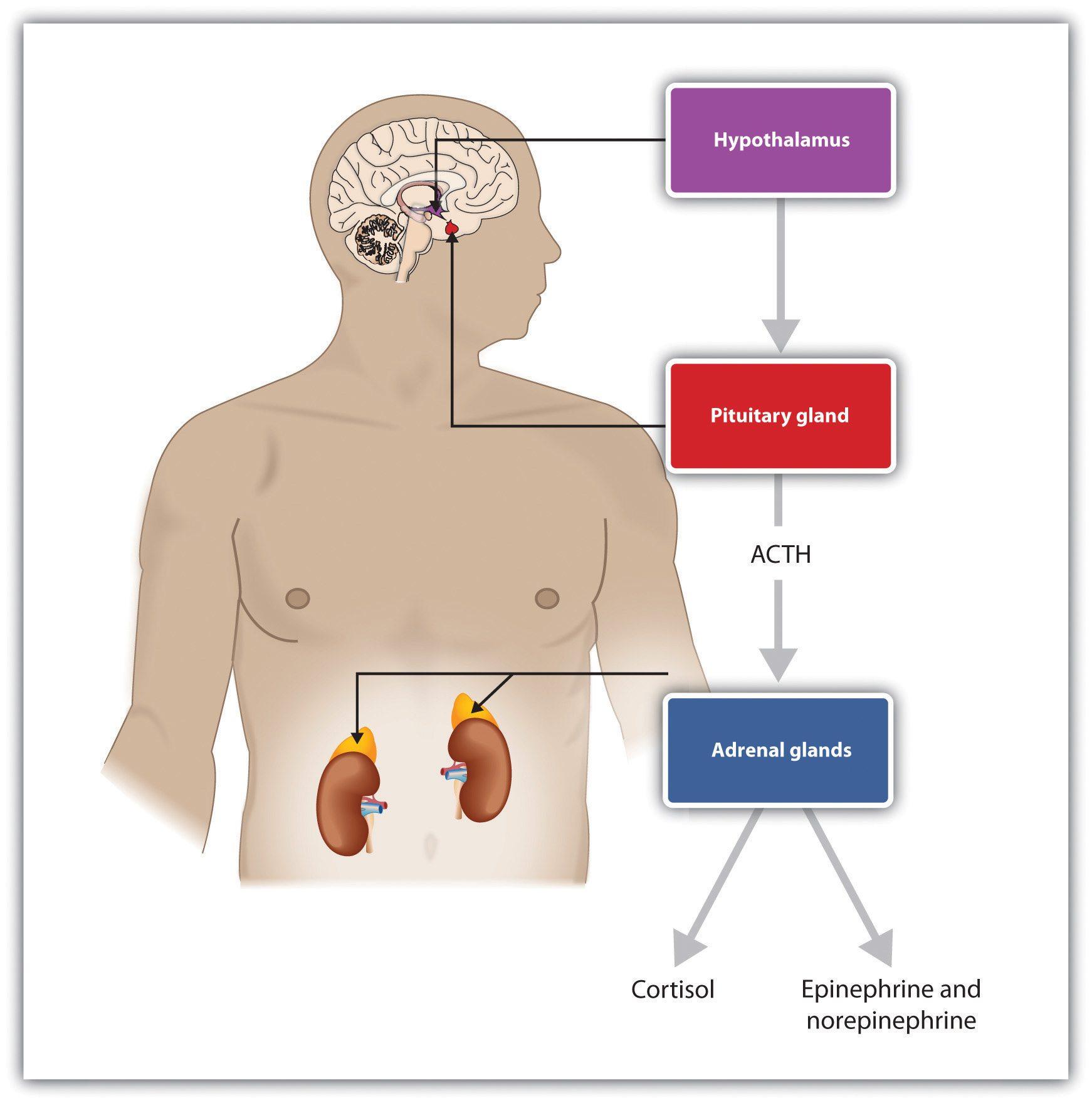 Adrenal Hormones