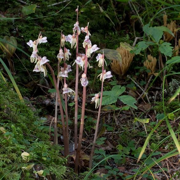 Skogsfru. En sällsynt och nyckfull orkidé. Oppli, Hälsingland, 1 september 2012.