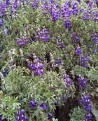 Close up of purple flowers at Laguna 69