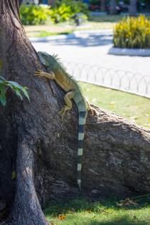 Iguana on tree in Parque Semanario