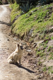 One of Peru's many, many stray dogs