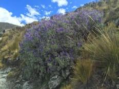 Purple flowers at Laguna 69