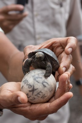Baby giant tortoise at Isabella breeding centre