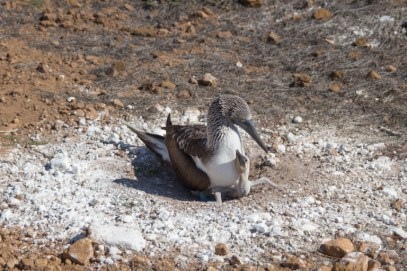 Blue footed boobie and hatchling on San Cristobal