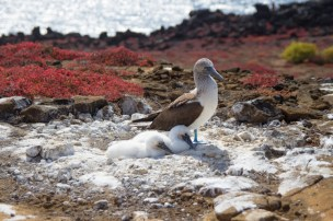 Blue footed boobie and pair of chicks on San Cristobal