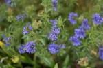 Blue flowers in the Secret Garden