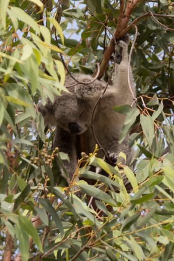 Wild sleepy koala