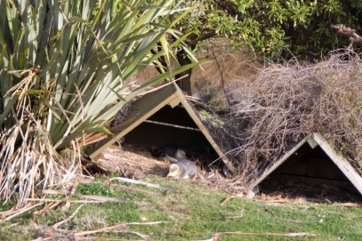 Yellow eyed penguins at home