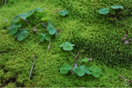 Moss and shamrocks in the deep forest