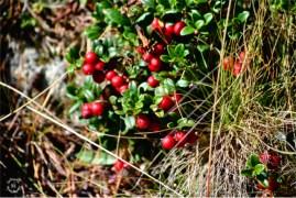 Autumn Colors in Sellrain, Cranberries
