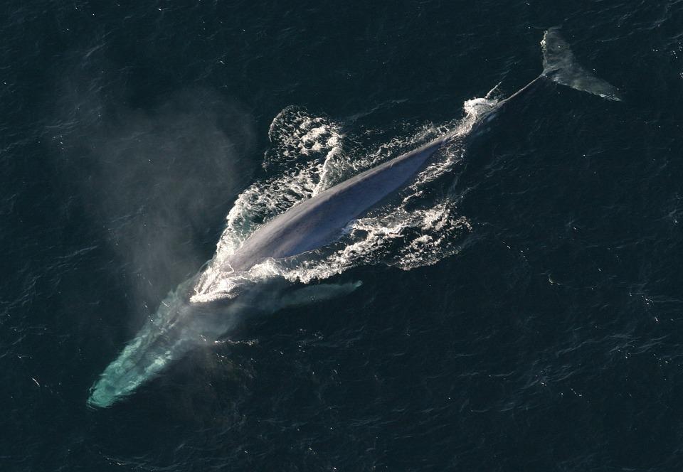 Ballena azul surcando el océano