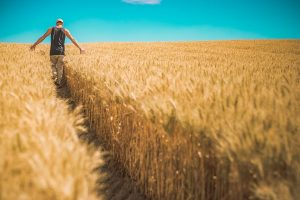 Un campo de trigo maduro por el que avanza dejando un sendero un hombre