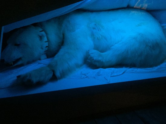 A polar bear! It was unfortunately stuffed, but still pretty cool!