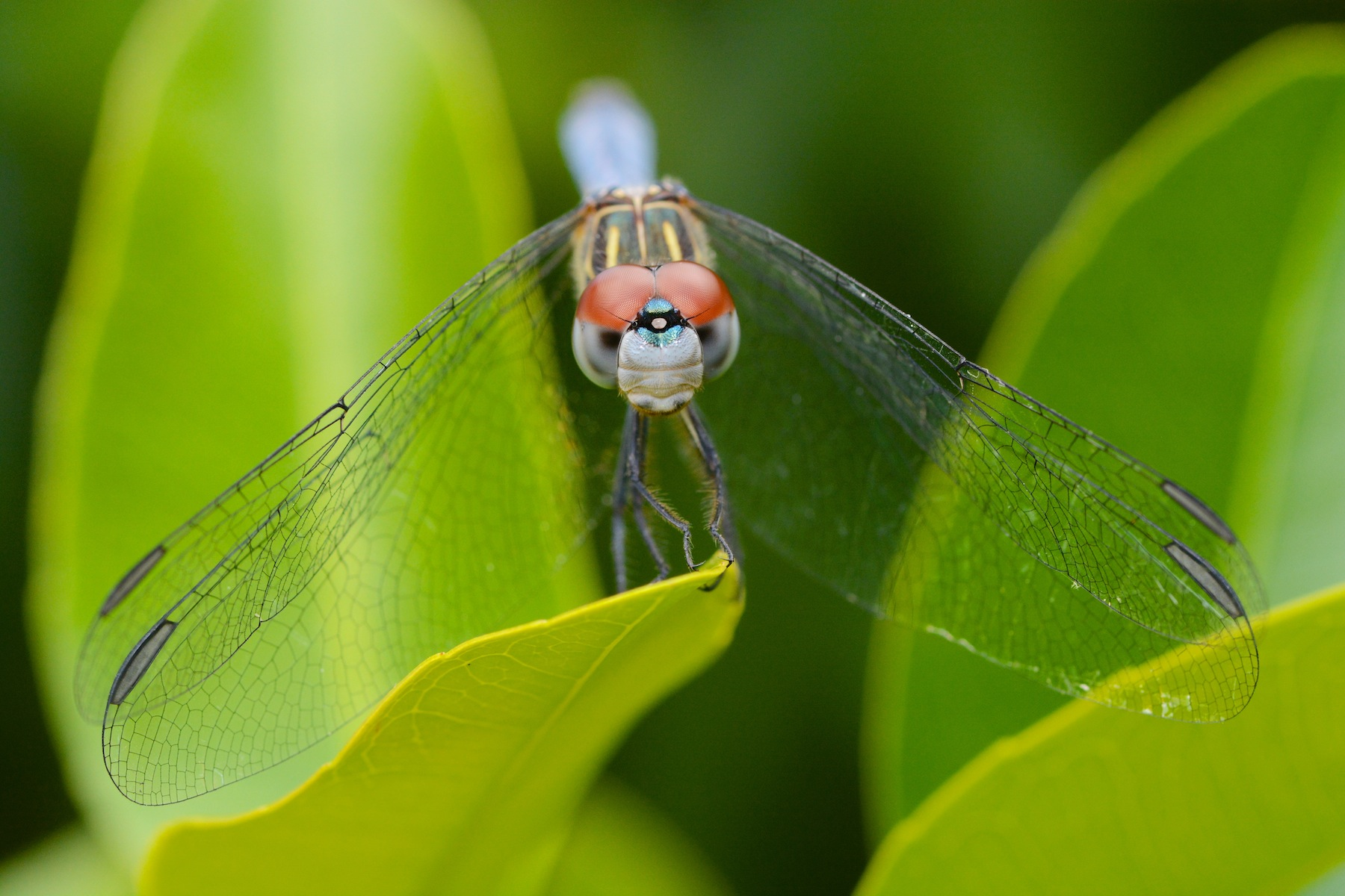 dragonflies eye diagram remote car starter wiring diagrams dragonfly eyes related keywords long tail