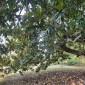 Locust Grove Plantation, Magnolia thumbnail