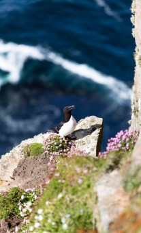 Razorbill at Dunnet Head
