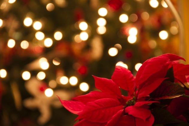Christmas home decoration with poinsettia flowers  in foreground and tree lights in background