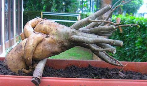 Cara Jitu Memper Indah Bonsai Adenium